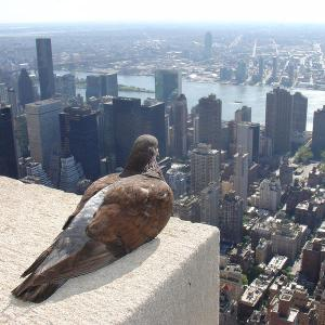 empire-state-pigeon-3_l